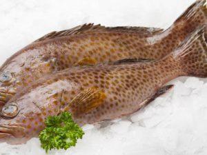 ปลาเก๋าออร์แกนิค